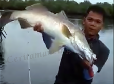Fishing Barramundi Big Size Mantap Bro