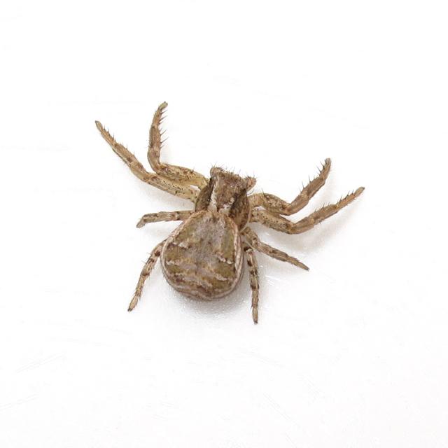 Bugblog Ground Crab Spider