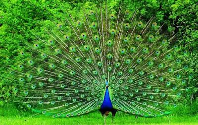 Foto de pavo real de pecho azul y plumas extendidas o abiertas