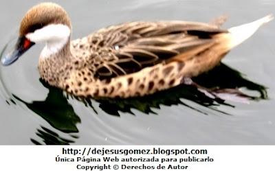 Imagen de un pato disfrutando del agua. Foto de pato de Jesus Gómez