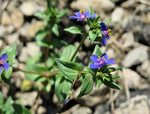 Hierba de la pulmonía (Anagallis foemina) flor silvestre azul