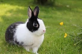 Topik Mendeskripsikan Kelinci Dalam Bahasa Inggris Satu Aja