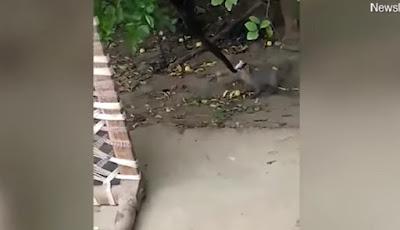 Luwak serang ular di atas pohon