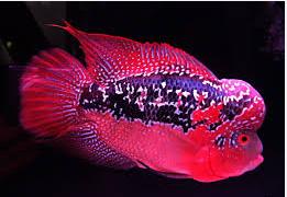 Ikan Hias Air Tawar Termahal Jenis Louhan
