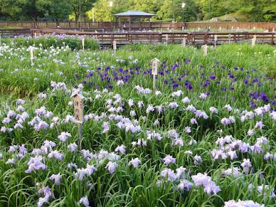 伊勢系 津の花