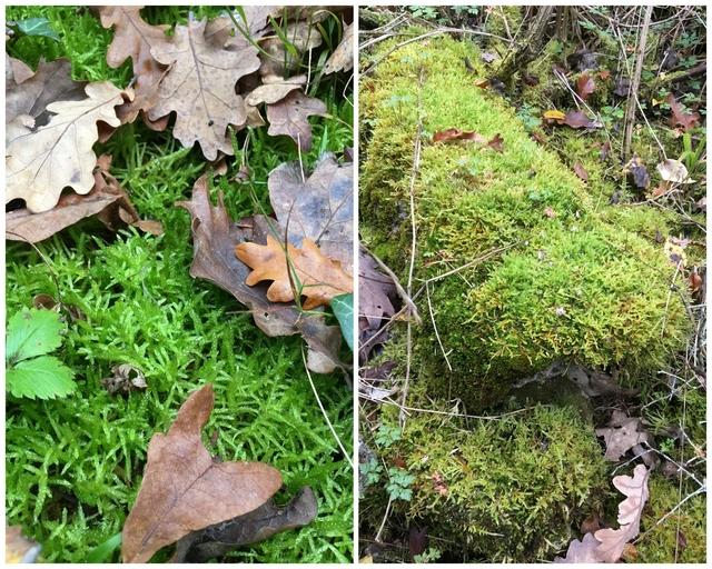 Moos im Wald sammeln