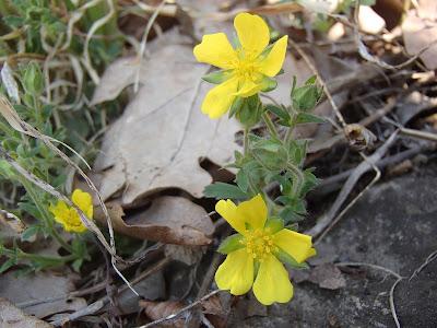 grzyby 2017, grzyby wiosenne, grzyby w marcu, grzyby w kwietniu, Verpa bohemica naparstniczka czeska, Caloscypha fulgens kielonka błyszcząca