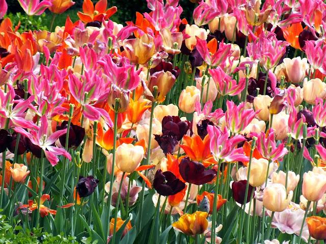 Tulipanes Amsterdam
