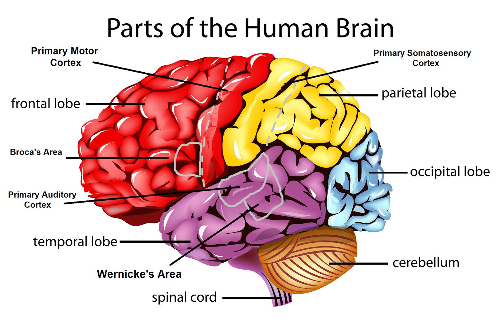 Part: Part Of Brain That Controls Memory