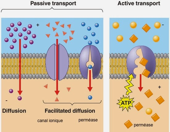 cours infirmier la cellule transports membanaires actifs passifs diffusion