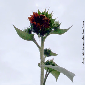 The Tallest Sunflower Plant at 93 inches at 79 days