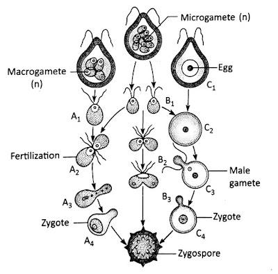 Reproduction in Chlamydomonas.