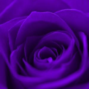 Mawar violet melambangkan perlindungan dan majesty