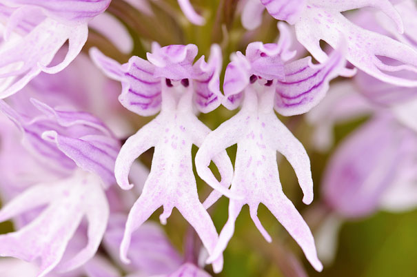 Naked Man Orchid (Orchis Italica)
