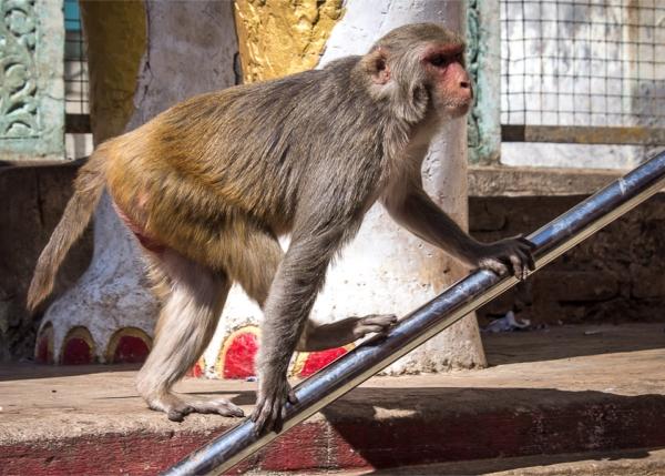 Macacii de la Manastirea Taung Kalat