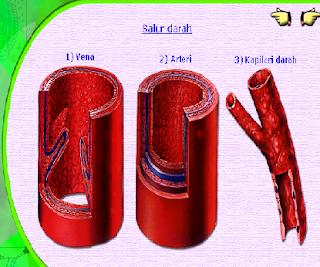 salur darah pada kapiler darah