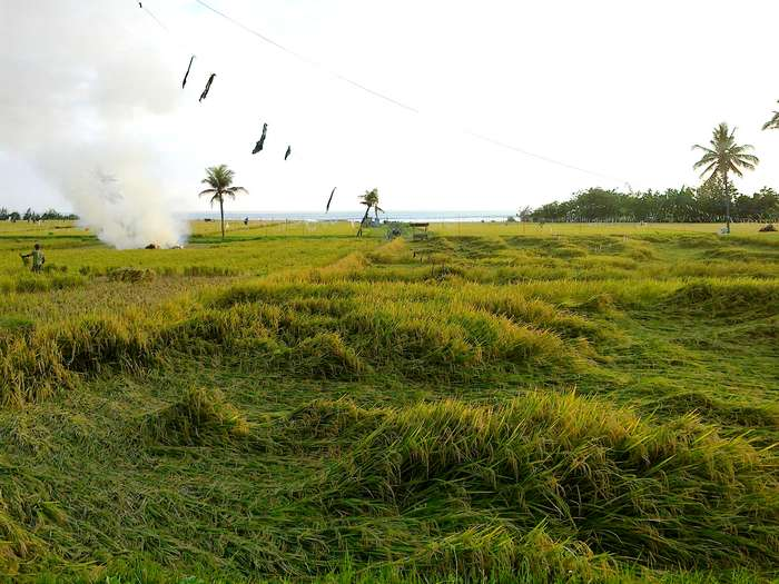 Subak, rice harvest in November, Bali