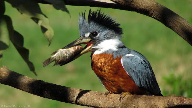 Ringed Kingfisher Megaceryle torquata Martim-pescador-grande Martín pescador grande Male