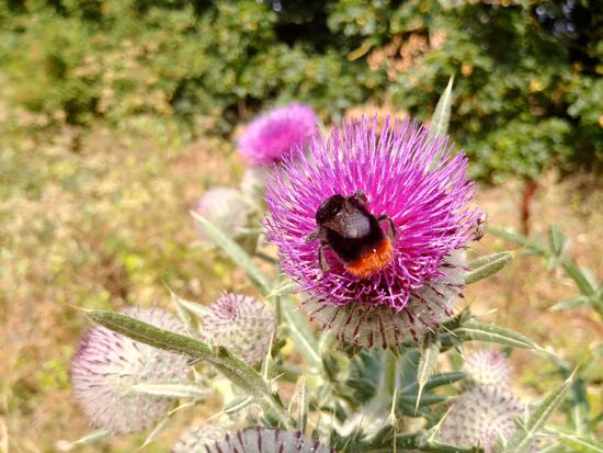Bee on thistle at Mardley Heath Image by Hertfordshire Walker released under Creative Commons BY-NC-SA 4.0