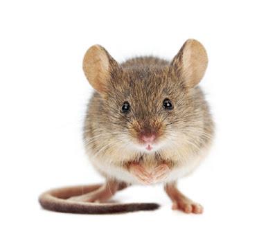 fare diyaframı, fare tuzağı