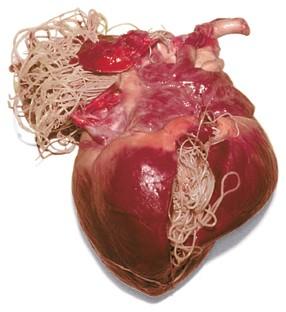 Dirofilaria immitis trong tim chó