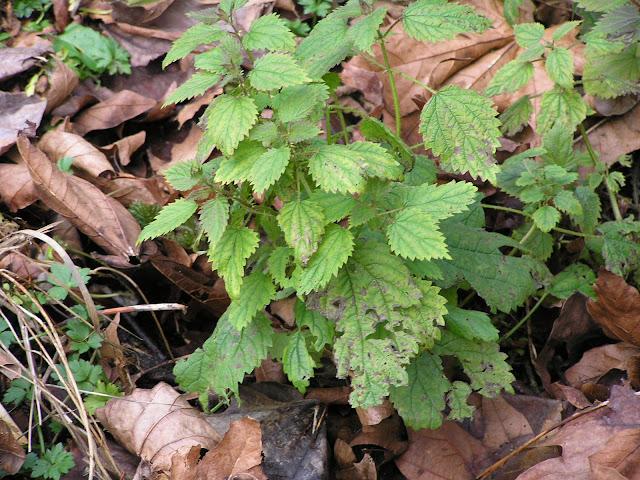 nettles edible weeds
