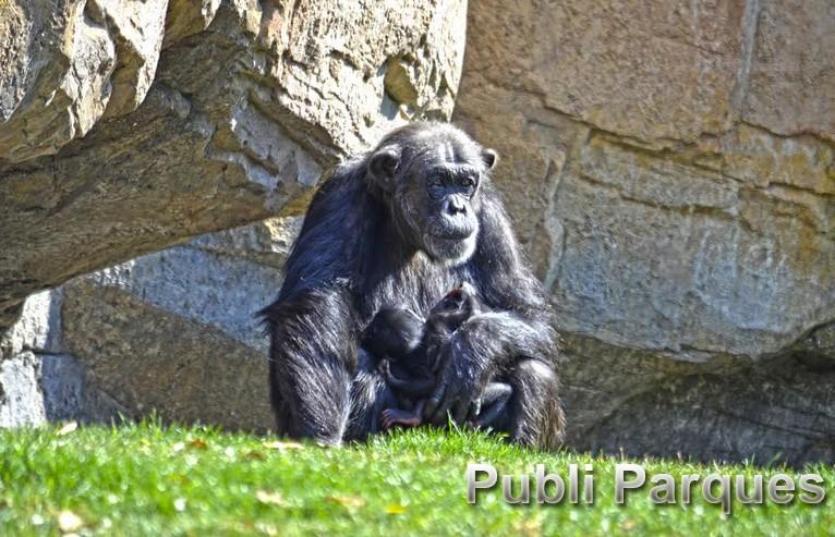 mellizos de chimpancé