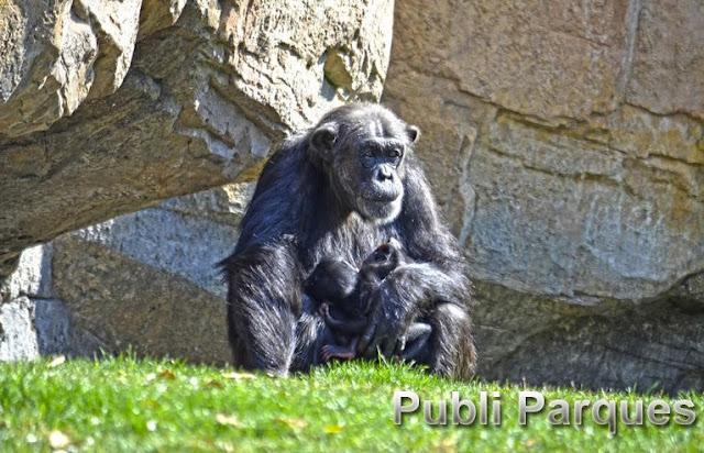 Mellizos chimpance