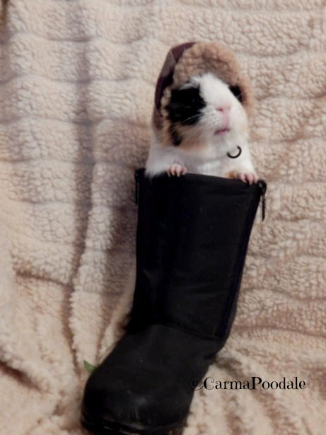 Cookie, the guinea pig in a snow boot