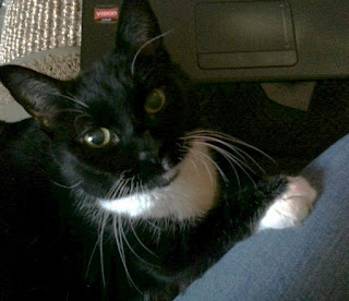 Diabetic Cat Dominique Needs a Furever Home