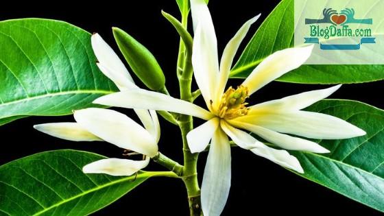 Jeumpa bunga khas Indonesia maskot provinsi Aceh