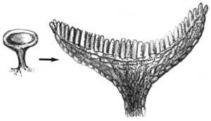 Struktur Tubuh Ascomycota bentuk askorkarp cawan