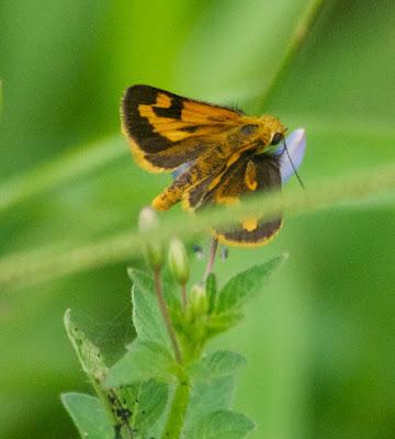 Yellow Grass Dart (Taractrocera archias quinta)