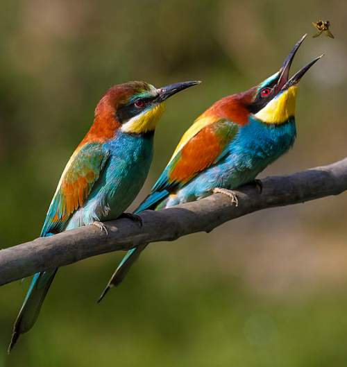 Indian birds - Image of European bee-eater - Merops apiaster