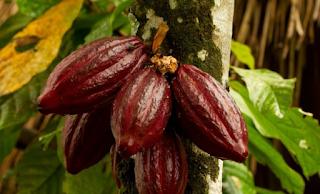 10+8 Manfaat & Khasiat Kulit Coklat Untuk Kesehatan