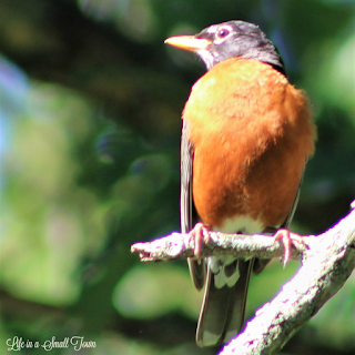 Robin bird perched on a broken branch looking toward the right