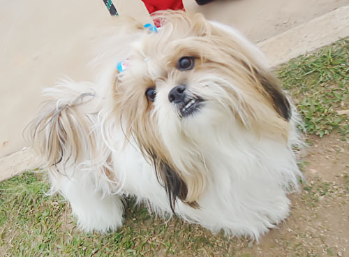 Are Shih Tzus Good Dogs