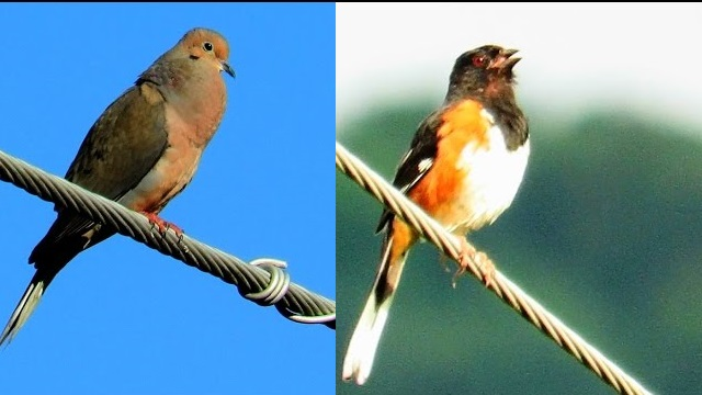 Mourning Dove versus Eastern Towhee Singing Contest