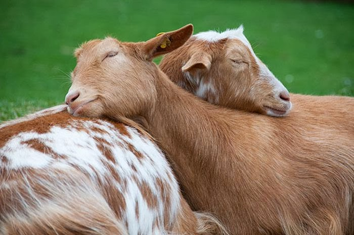 Funny animals of the week - 14 February 2014 (40 pics), two goats sleeping