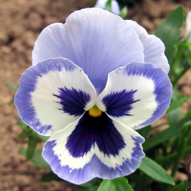 Como plantar e cultivar amor perfeito