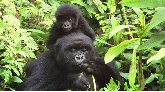 Mountain gorilla is endangered species
