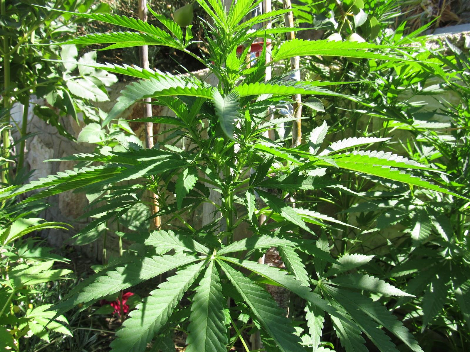 Hint keneviri bitkisi nedir hint keneviri faydaları ve zararları kullanımı