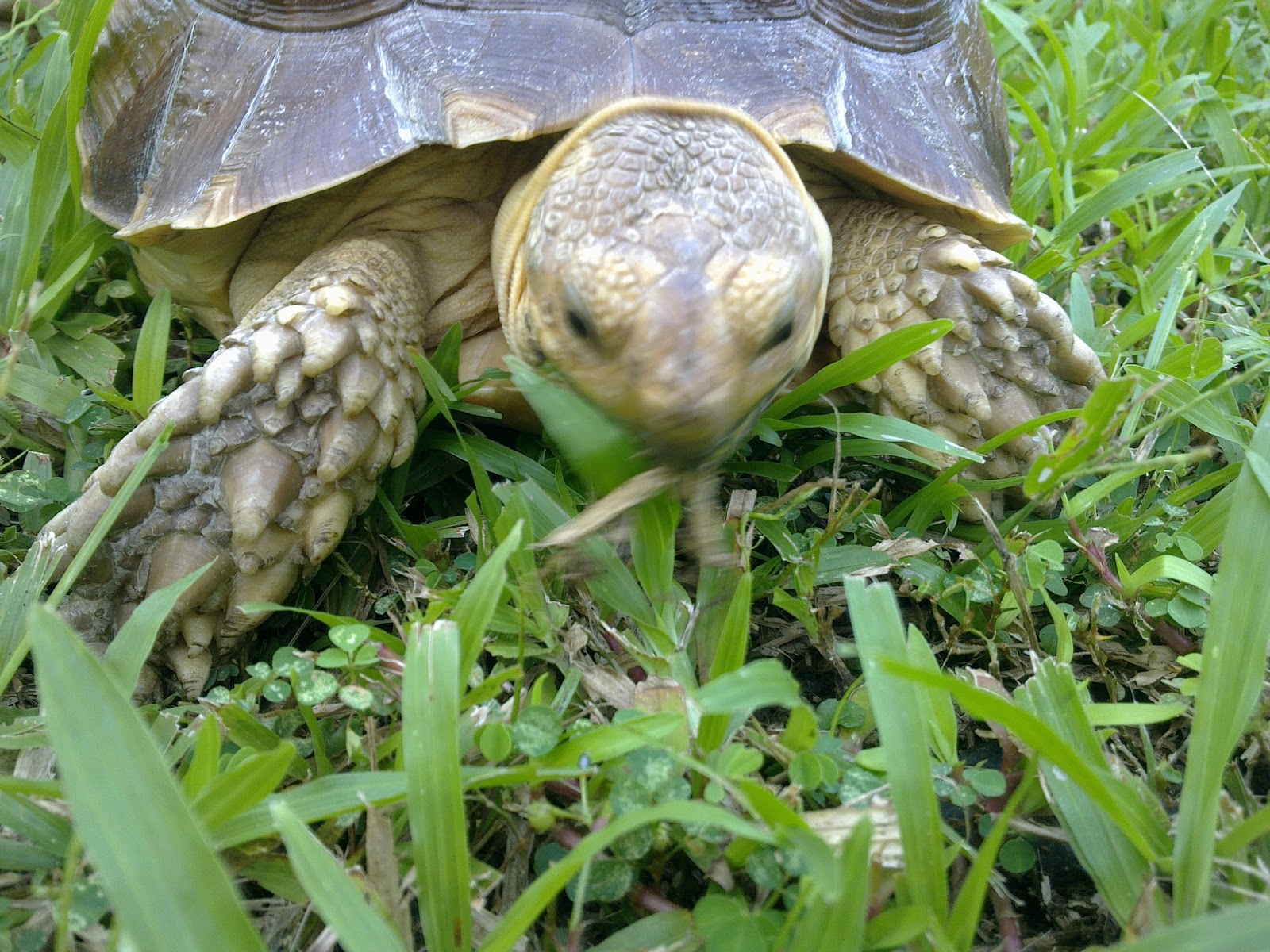 The Positive World Of Princess Peachy, The Happy Sulcata