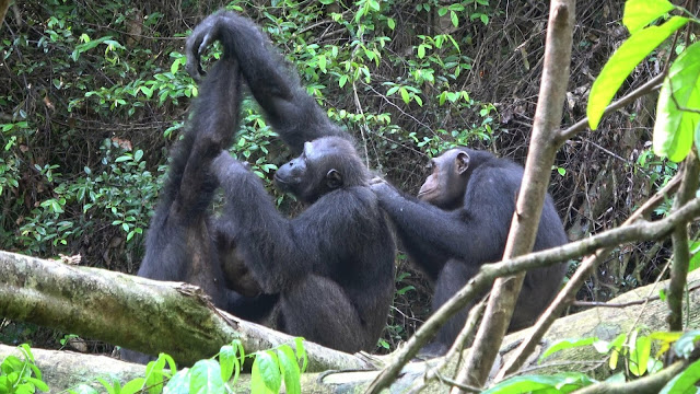 Chimpanzees lose their behavioural and cultural diversity