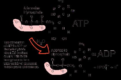Adenosin Trifosfat Adalah - Kamus Biologi Online