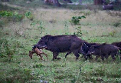 GREAT HUNTING: Černá zvěř je predátor dnešní krajiny. Všežravec a rychlý lo