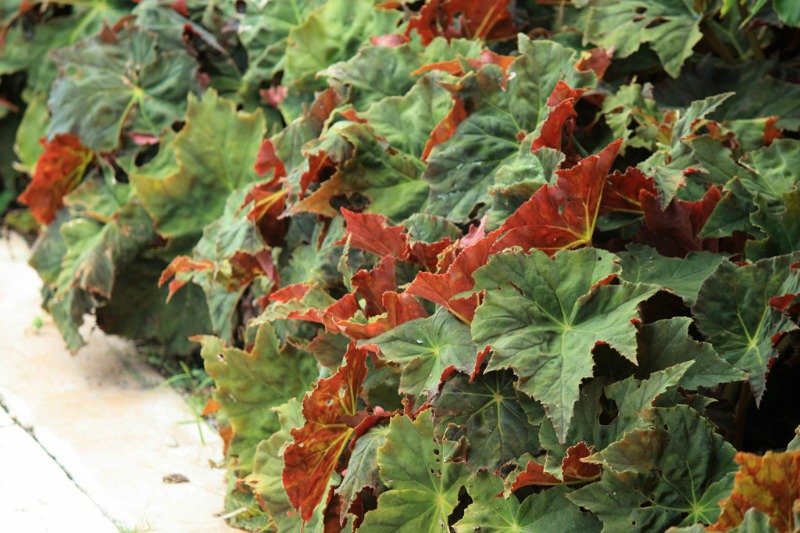 Begonia rex (Flickr -Mariners-)