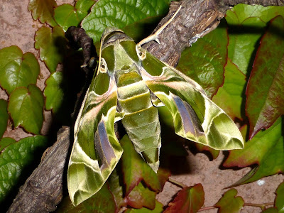 Daphnis nerii female