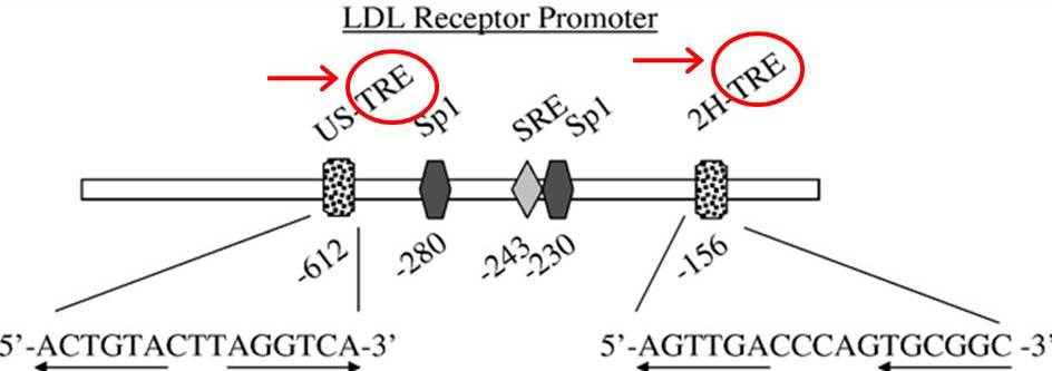 The Central Role of Thyroid Hormone in Governing LDL