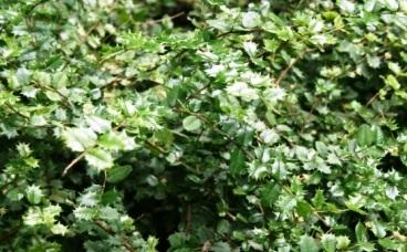 Pernahkah anda mendengar jenis tanaman yang satu ini Cara Membudidayakan Tanaman Bunga Mirten secara ekonomis